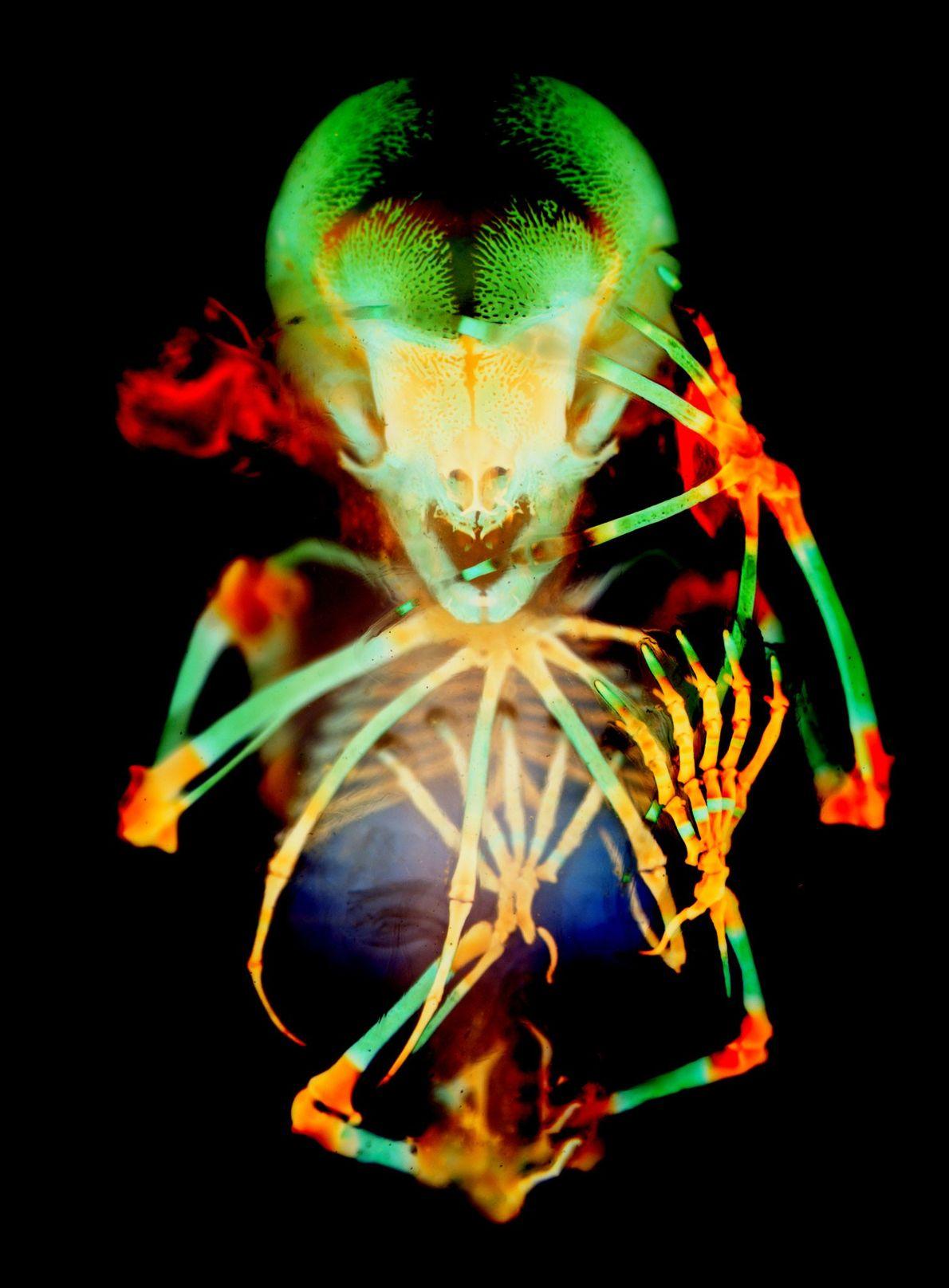 Cette image en technicolor quelque peu macabre du squelette d'un fer-de-lance à lunettes (Carollia perspicillata) est ...