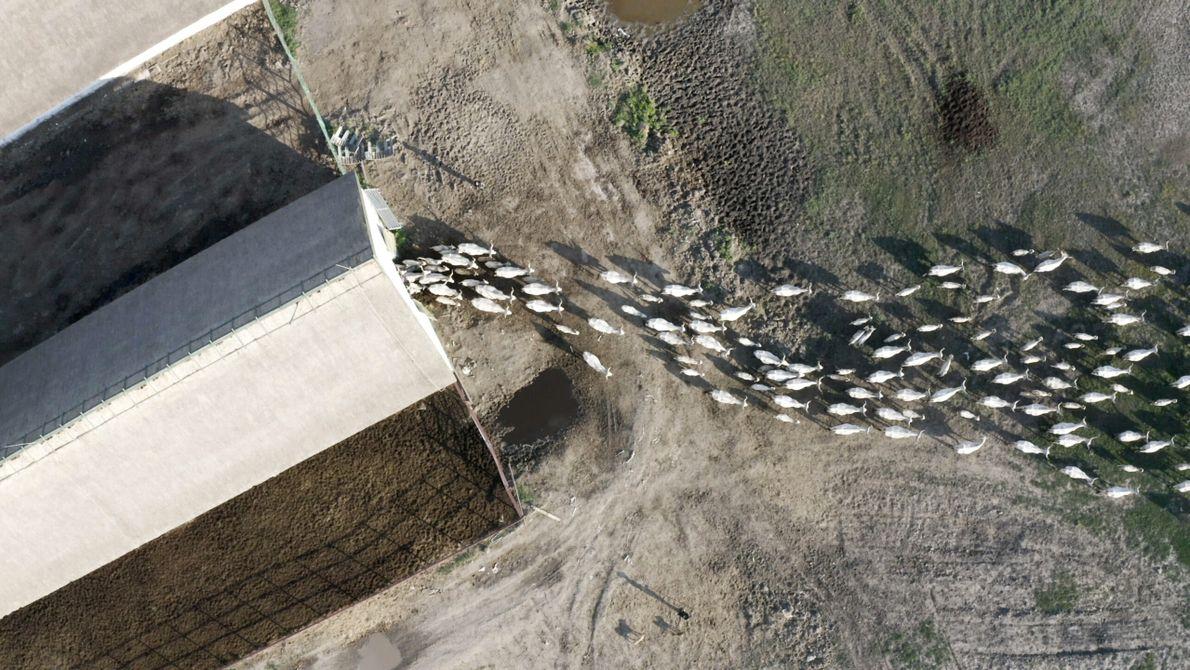 Hongrie : un troupeau de bétail quittant la ferme en début de saison de pâturage.