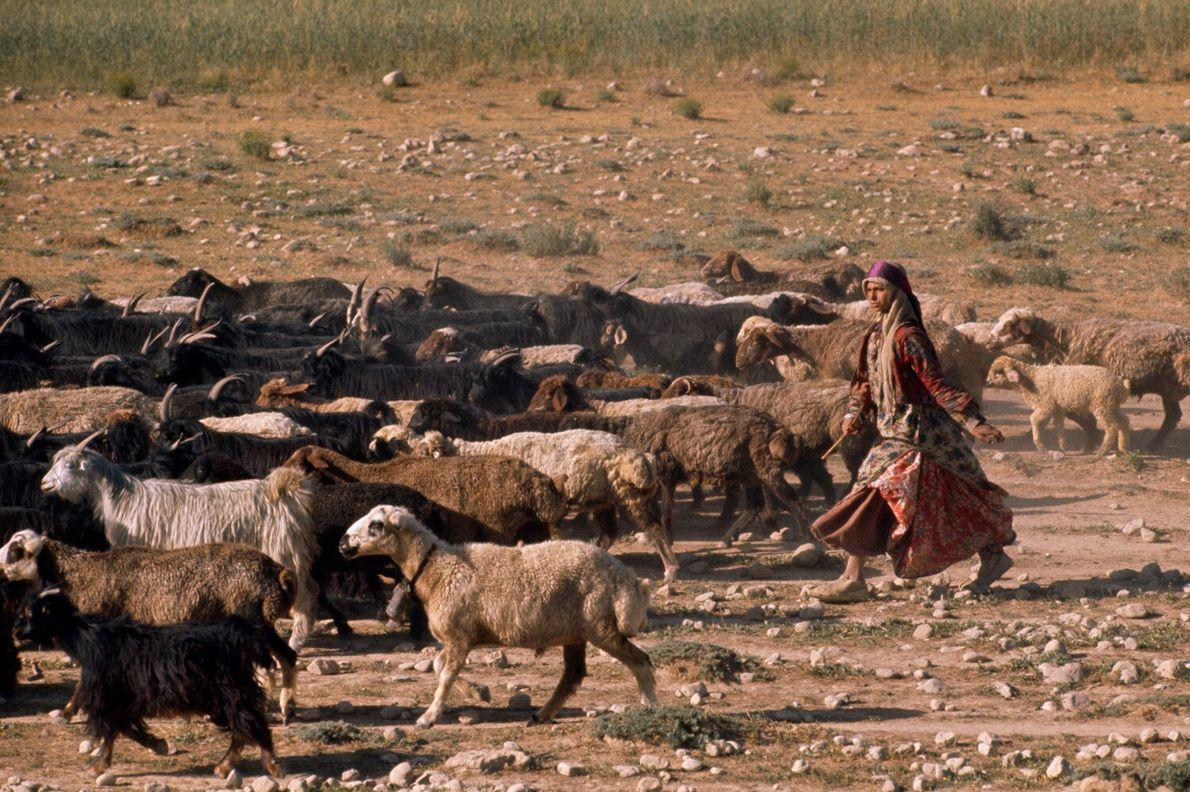 Iran, 1961 : une femme Kachkaïs vêtue de sa tenue traditionnelle guide les chèvres vers leurs pâtures ...