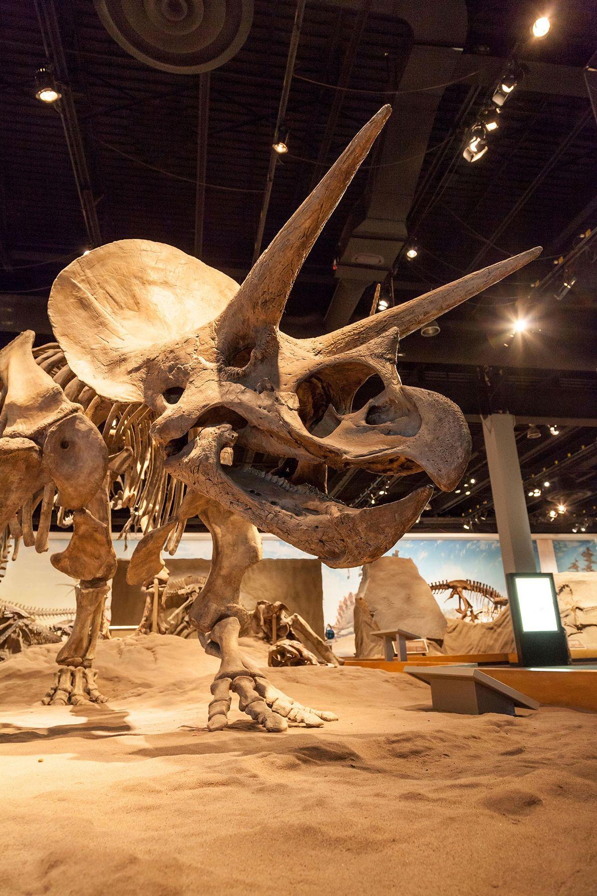 Ce moulage de Triceratops horridus est exposé au musée royal Tyrell de paléontologie à Alberta, au ...