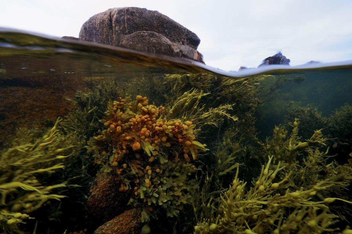 Des algues à consommer