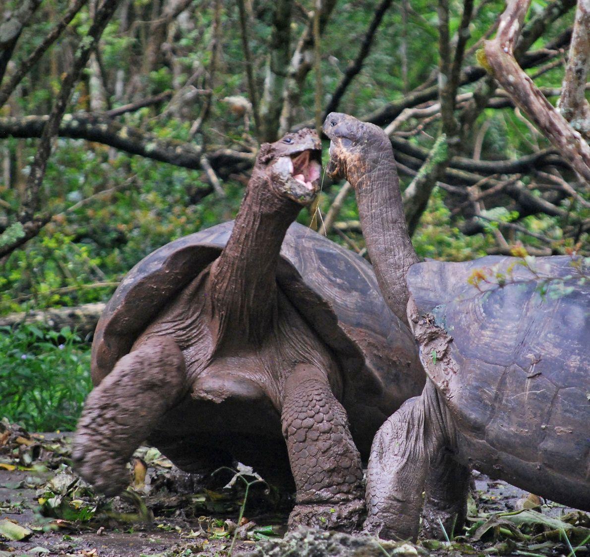 Prise de bec entre deux tortues des Galápagos sur les Îles Galápagos.