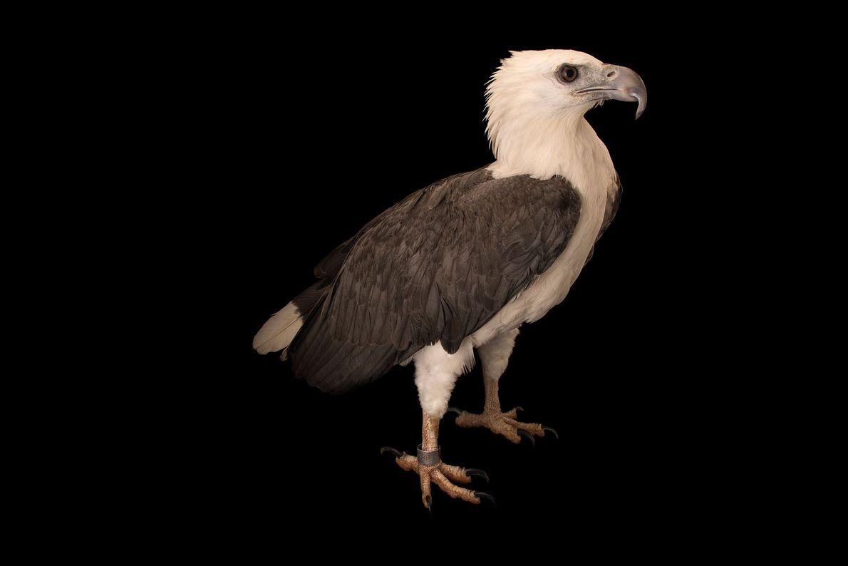 Un pygargue blagre, Haliaeetus leucogaster, du parc ornithologique de Jurong. Prédateur redoutable, cet aigle attrape ses ...