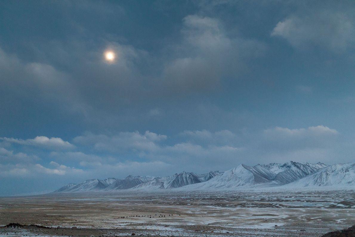 Un troupeau de yaks est ramené au camp en soirée dans le corridor du Wakhan en ...