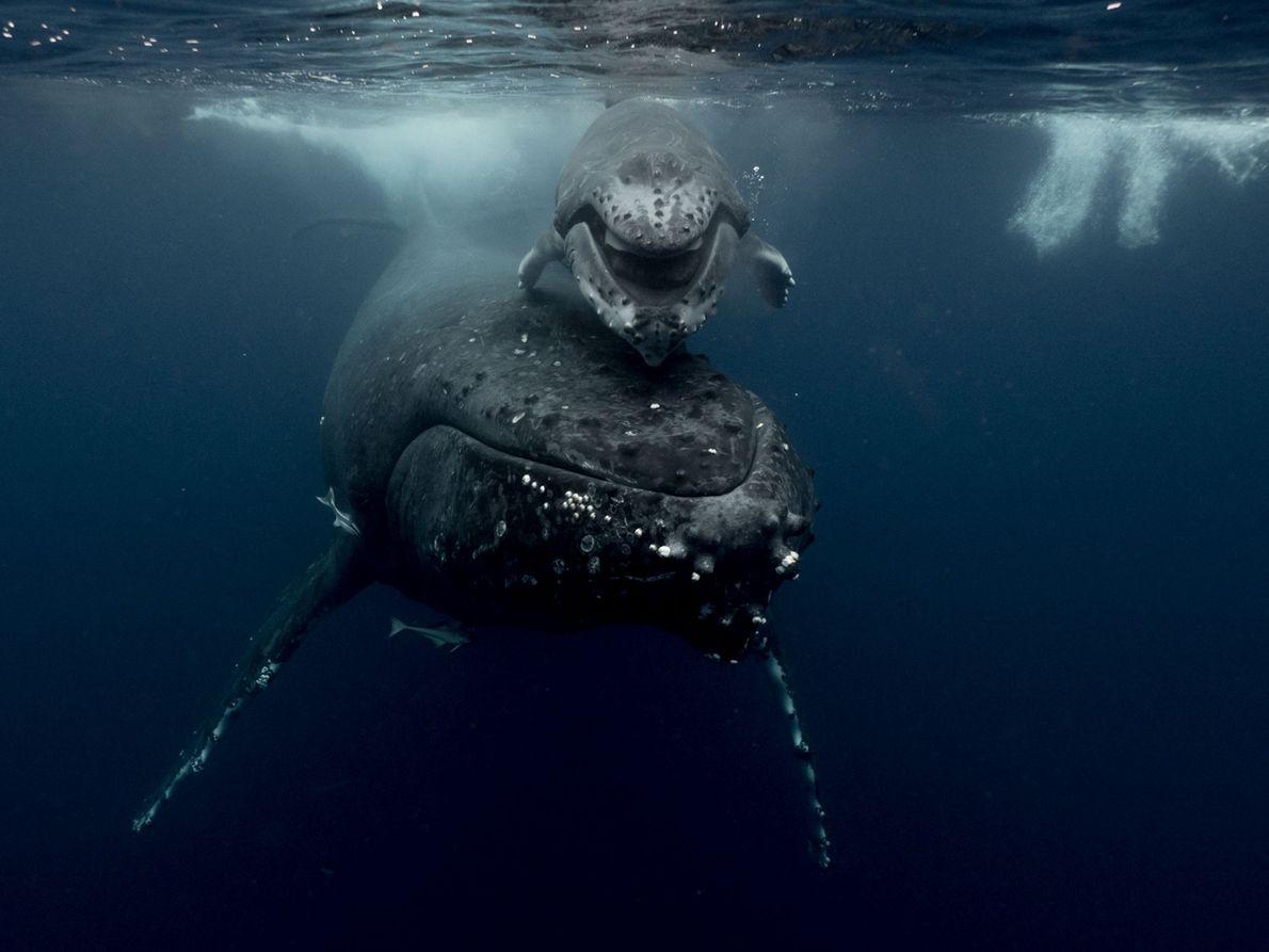 Une baleine à bosse et son petit nagent dans les eaux des îles Tonga. Pour plonger ...