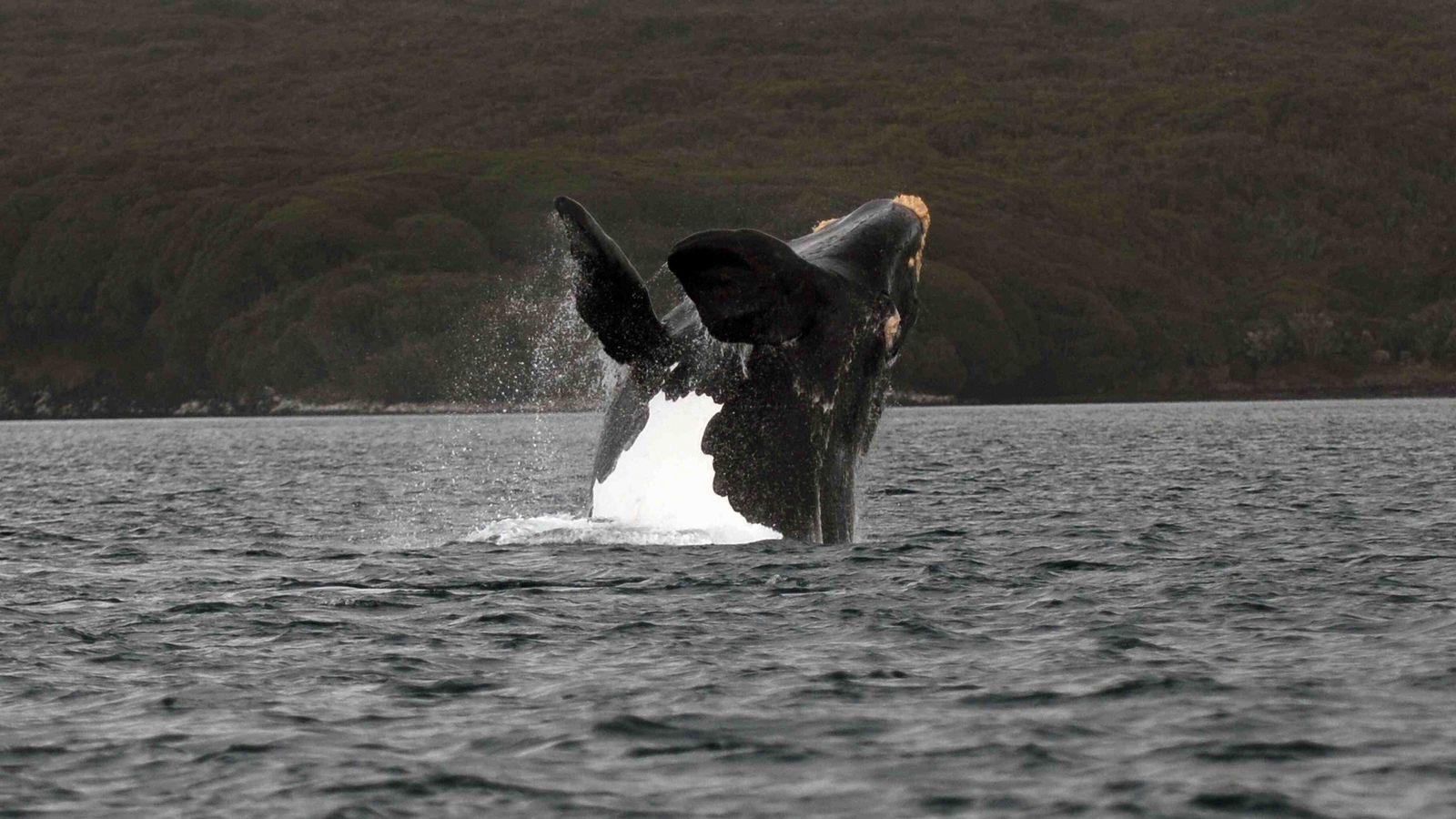 Les baleines franches australes se nourrissent autour de l'île sub-antarctique de Géorgie du Sud.