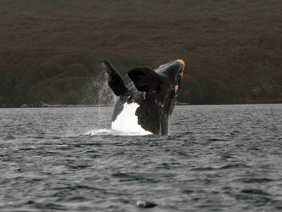Des chercheurs sur les traces des baleines franches australes