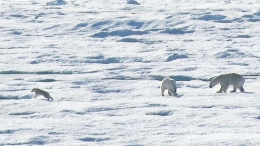 EXCLUSIF : un ours polaire chasse et dévore un ourson