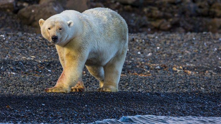 Un ours polaire attaque les photographes de Nat Geo