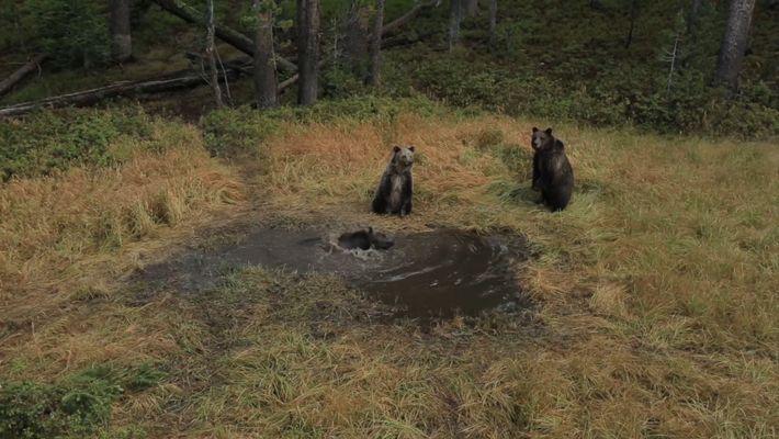 EXCLUSIF: Un bain d'ours filmé dans le Parc national de Yellowstone