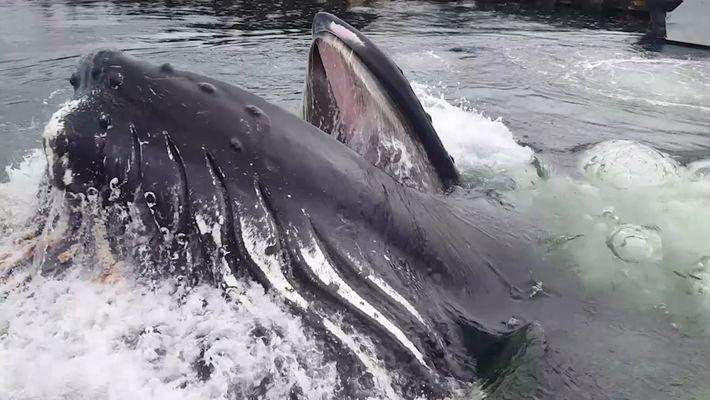 Gros plan : une baleine à bosse dans un port de plaisance