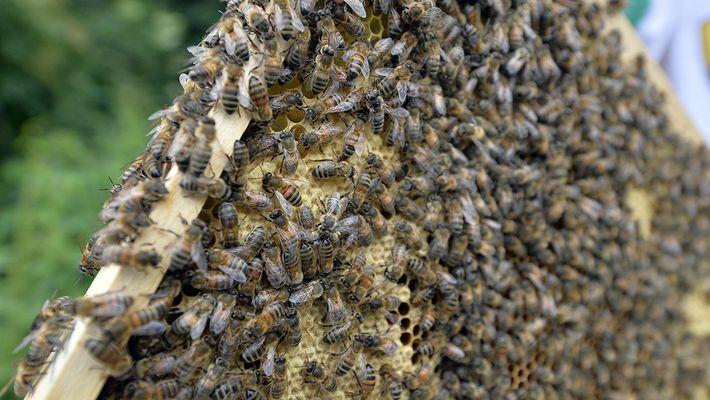 Traverseriez-vous une pièce remplie de millions d'abeilles ?