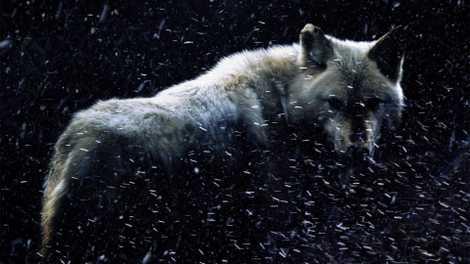 Les Canis dirus : les loups de Game of Thrones ont-ils vraiment existé ?
