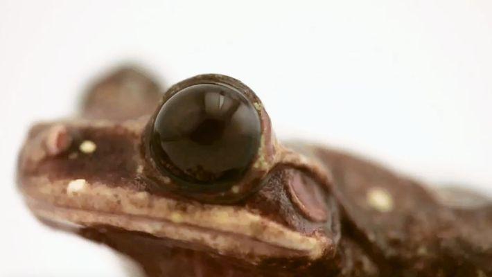 La mort de cette grenouille arboricole marque la fin de son espèce
