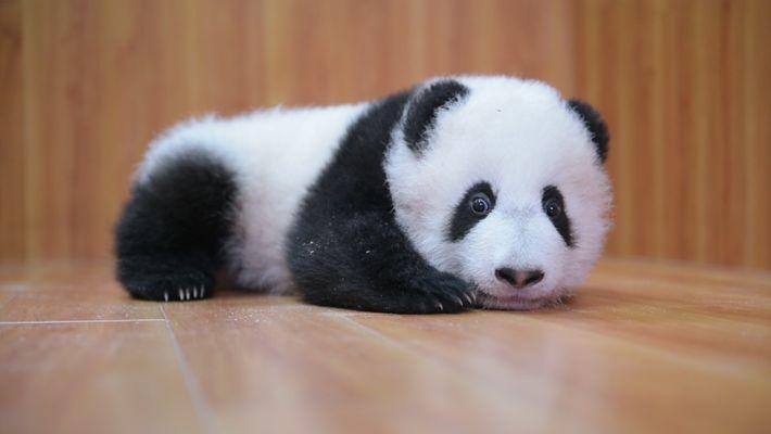 Élever des pandas : mignon mais compliqué