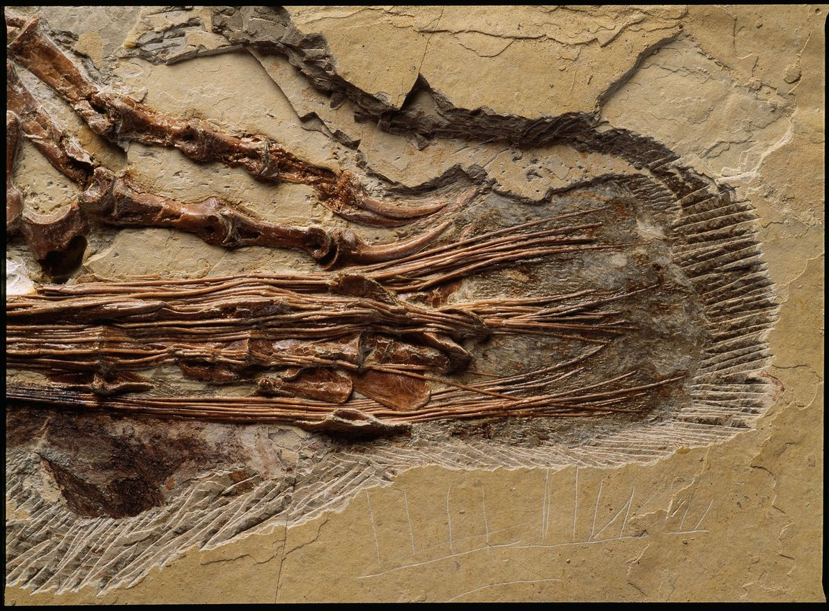 Ce gros plan montre l'arrière-train de Sinornithosaurus millenii, un dinosaure chinois du Crétacé inférieur. Ce droméosaure ...