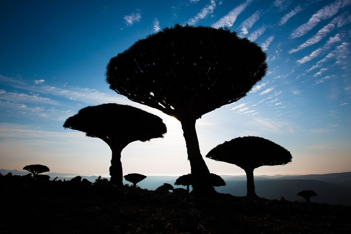Les dragonniers de Socotra sont devenus des symboles de l'archipel. Essence est rare et prisée, ces ...