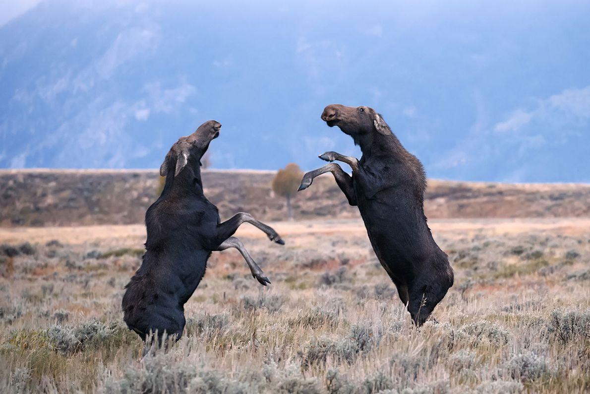 Deux élans se toisent du regard au parc national de Grand Teton dans le Wyoming.