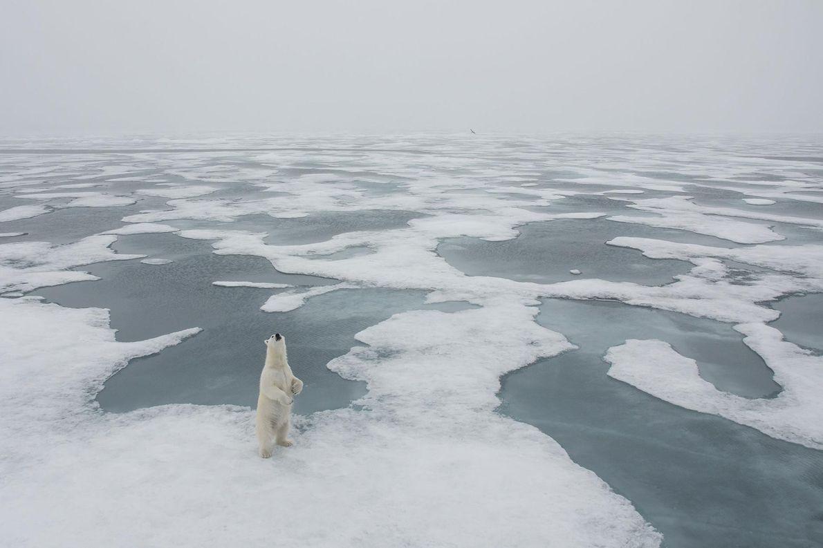 Un ours blanc photographié à Longyearbyen, en Svalbard et Jan Mayen.
