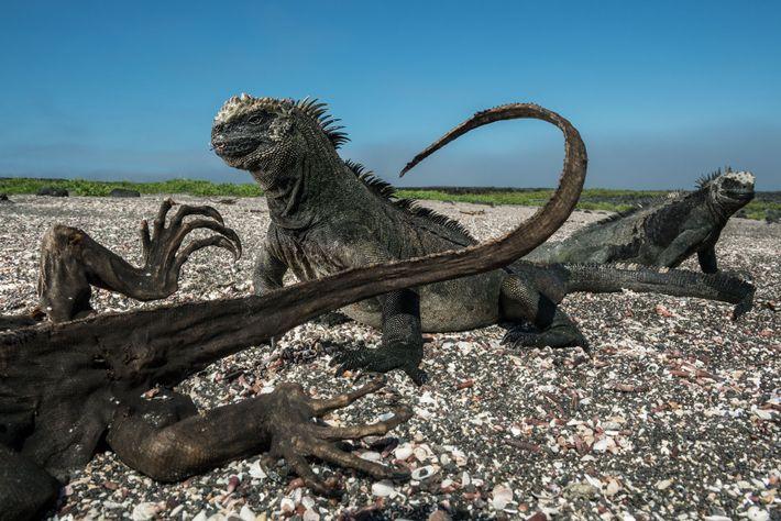 Sur l'île Fernandina, dans l'archipel des Galápagos, deux iguanes marins semblent impassibles face à la présence ...