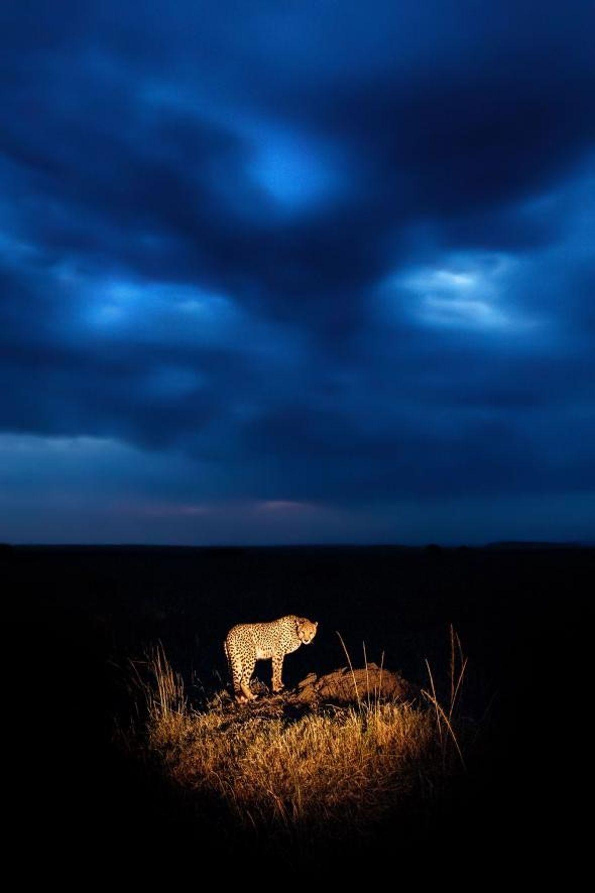 Au crépuscule, un guépard est photographié dans la réserve nationale de Masai Mara.