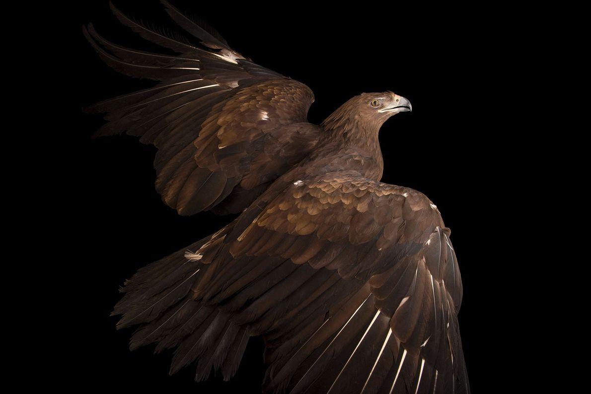 Un aigle criard, Clanga clanga,  du zoo de Plzeň. La couleur du plumage de cette ...