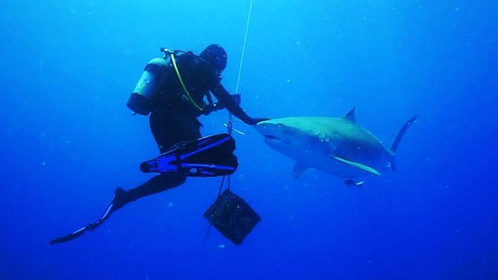 Ce requin-tigre s'approche à quelques centimètres des plongeurs