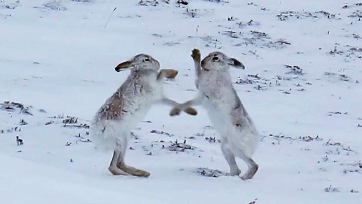 Match de boxe : une hase se bat avec des lièvres