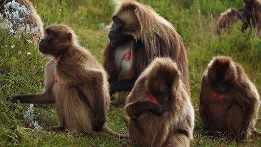 Timelapse - La journée d'un groupe de singes géladas dans les montagnes éthiopiennes