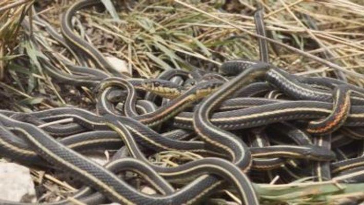 Les orgies sexuelles des serpents mâles raccourcissent leurs vies