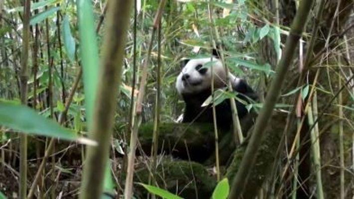 Ce panda né en captivité fait son chemin dans la vie sauvage