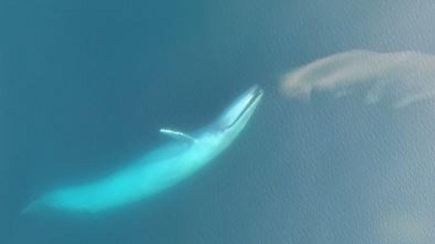 Admirez ces baleines bleues qui plongent pour se nourrir grâce à ces superbes images de drone.