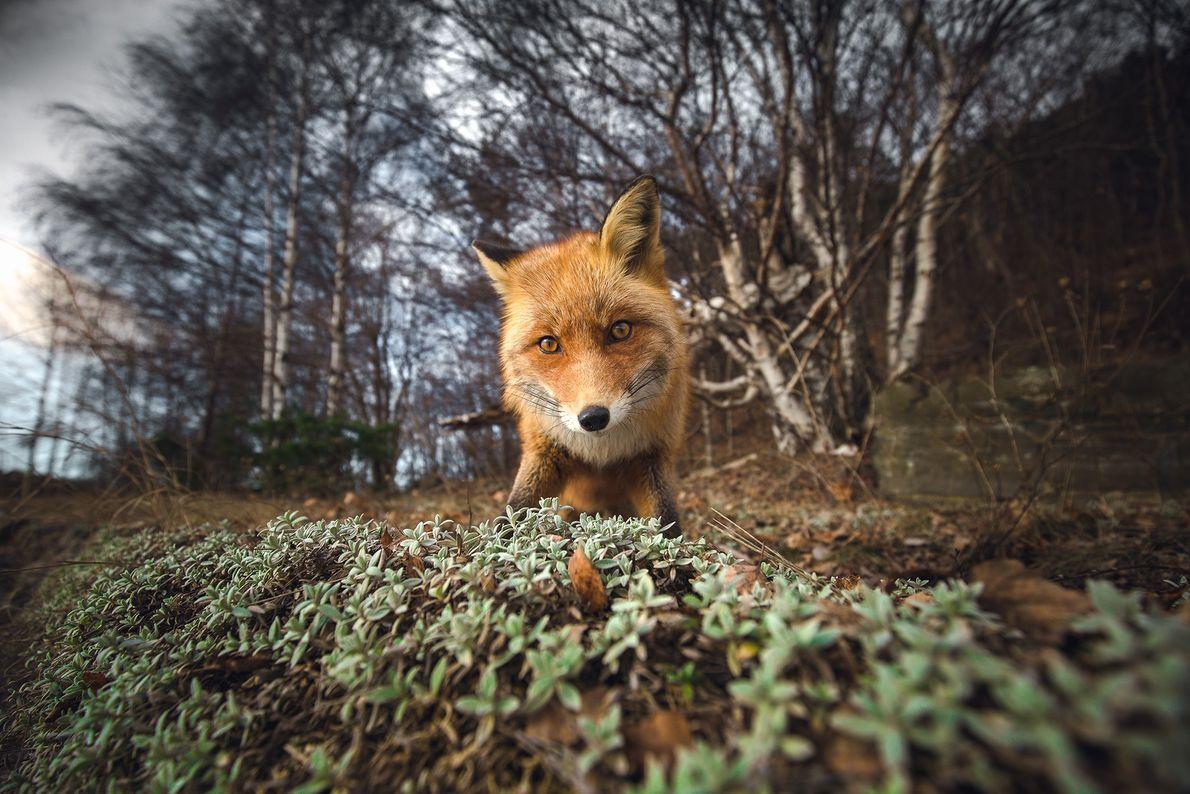 Picture ofa fox