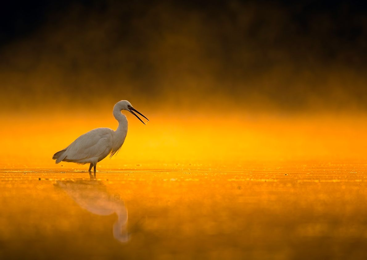 Picture of an egret standing in water at sunrise