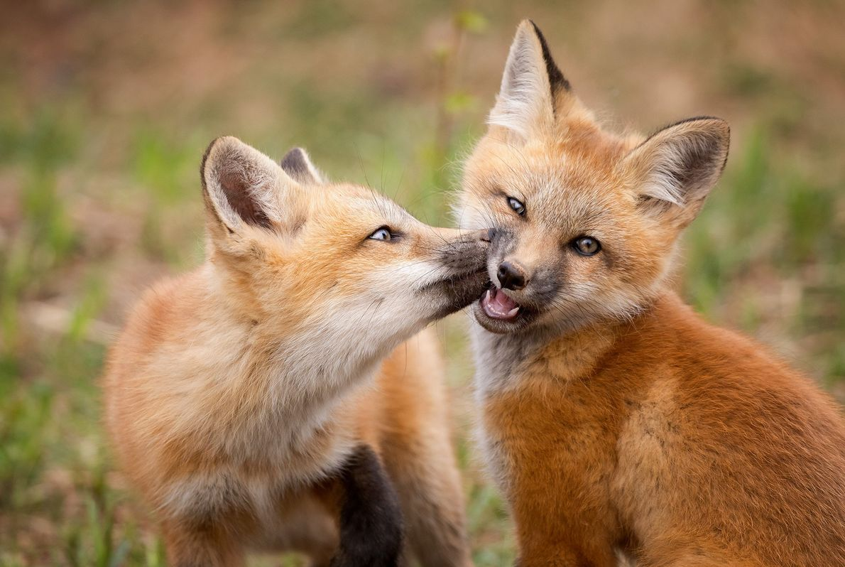 Picture of two young fox kits on Prince Edward Island, Canada