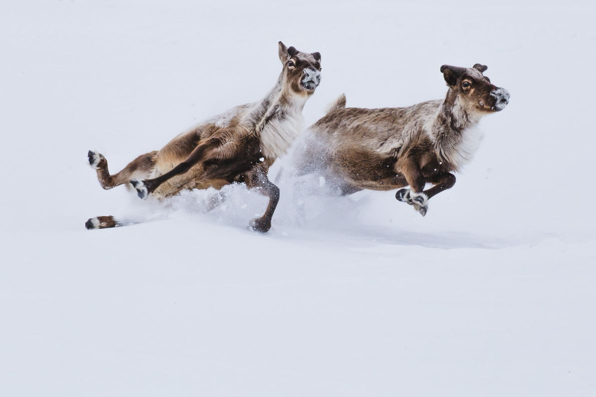 Picture of two reindeer slipping while running through the snow