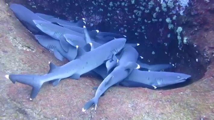 Un banc de requins a été filmé en train de 'dormir'