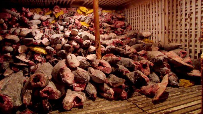 300 tonnes de requins ont été découvertes sur un chalutier chinois