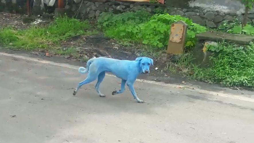 En Inde, les eaux polluées colorent les chiens en bleu.