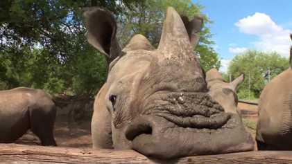 Peut-on sauver les rhinocéros en vendant leurs cornes ?