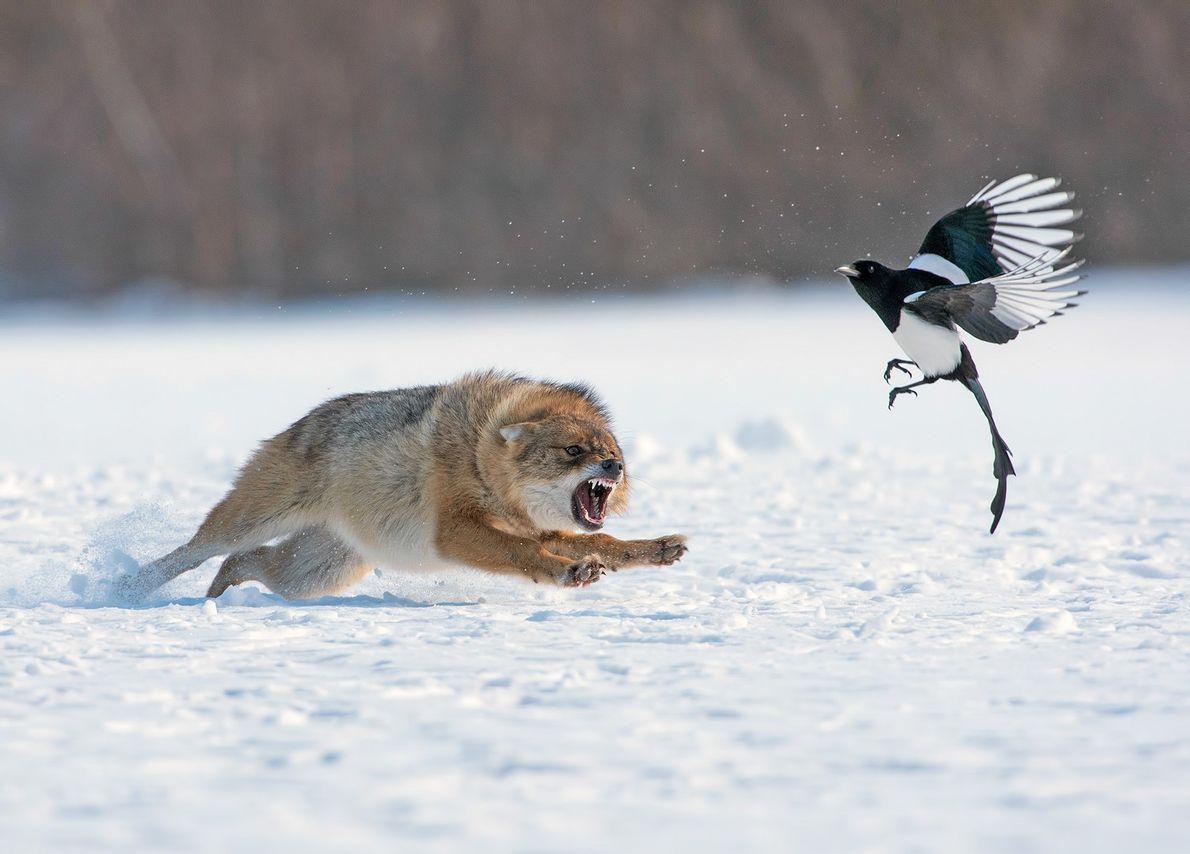Un chacal fait fuir un rapace par un froid hiver. Selon le photographe Sergey Zlatkov de ...