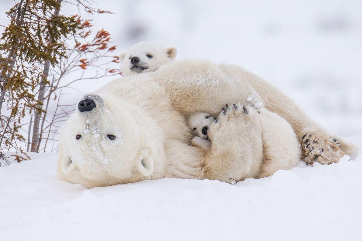 Dans le parc national de Wapusk, au Canada, une maman ours polaire câline ses deux petits. ...