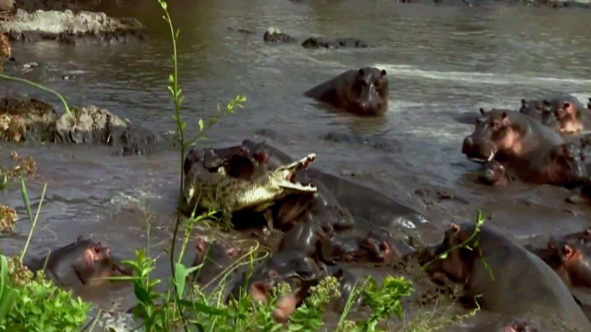 Un crocodile se bat contre des hippopotames   National Geographic