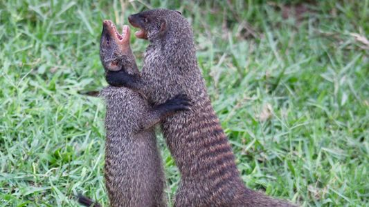 Des mamans mangoustes se battent pour leurs petits