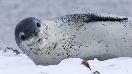 Découvertes inédites sur le léopard des mers