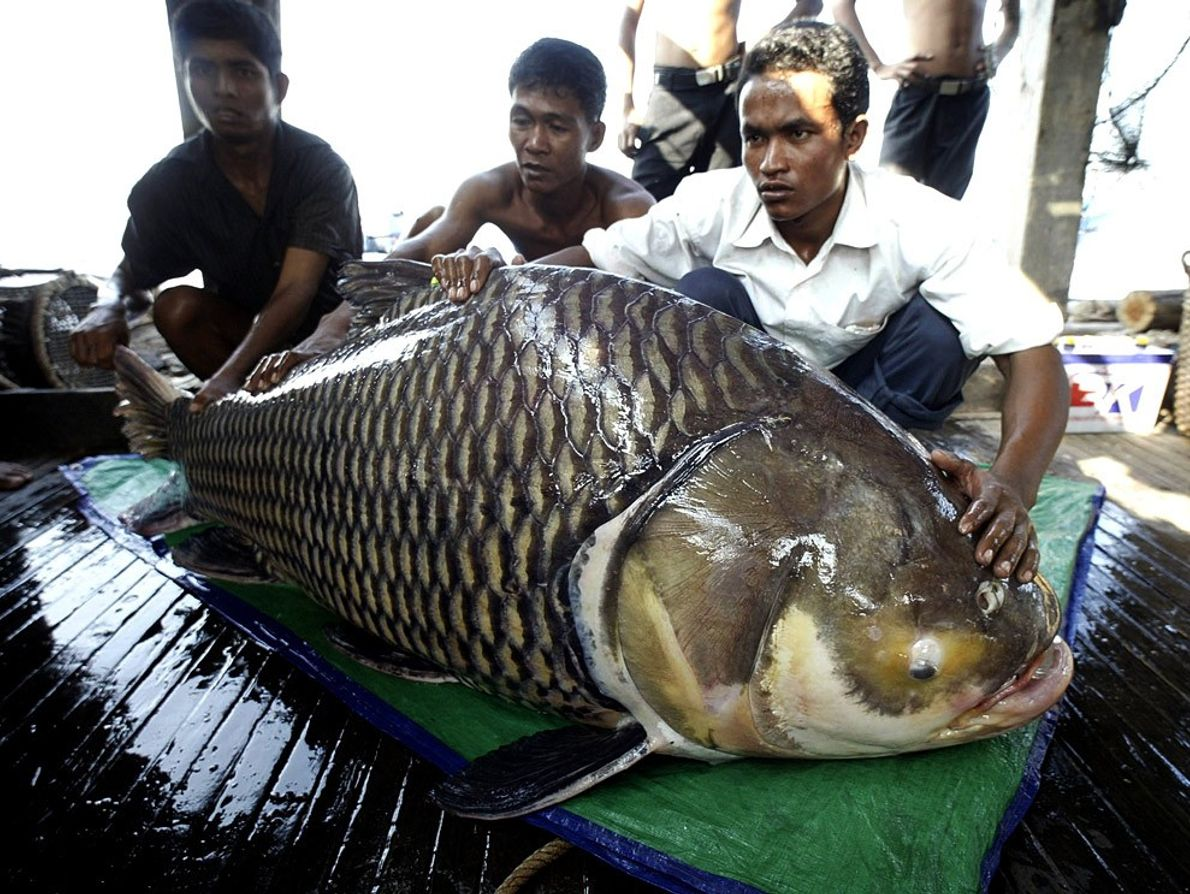 Colosse des mers, Cambodge