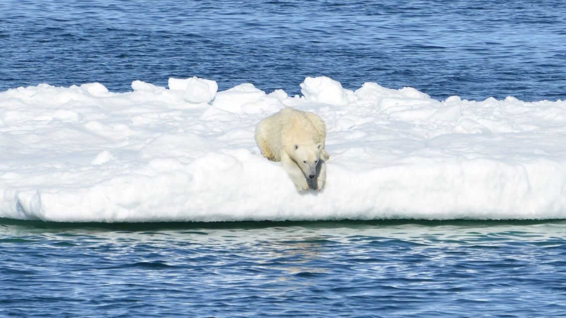 L'errance des ours polaires en quête de nourriture