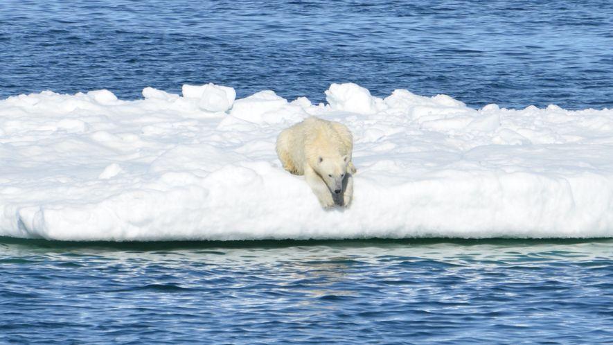 La terrible quête des ours polaires filmée par des caméras