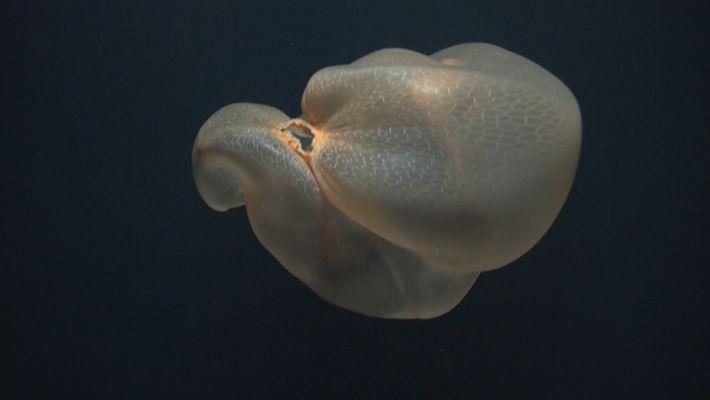 Cette mystérieuse méduse a été filmée pour la première fois