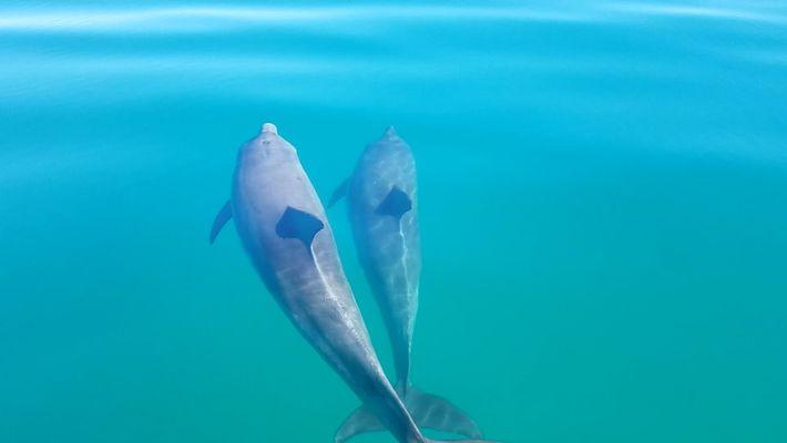 La reconnaissance mutuelle des dauphins mâles